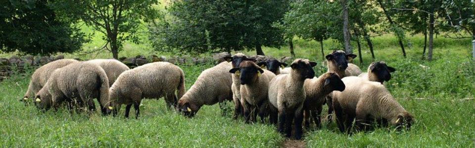 Iisaka talu lambad