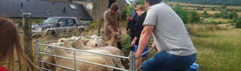Eesti lammaste aretuspopulatsioon sai tubli täienduse