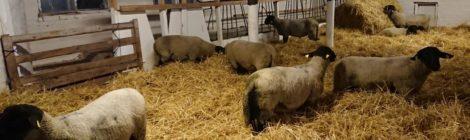 Suomen Lammasyhdistys 100 - muljeid Soome lambapäevadelt