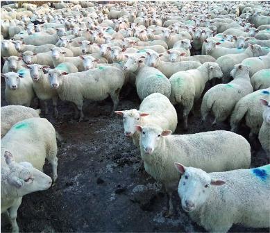 Värvitäpi saanud lambad vaatavad huviga konsulendi poole, et mida ta nüüd välja mõtleb! Foto: K. Tähepõld