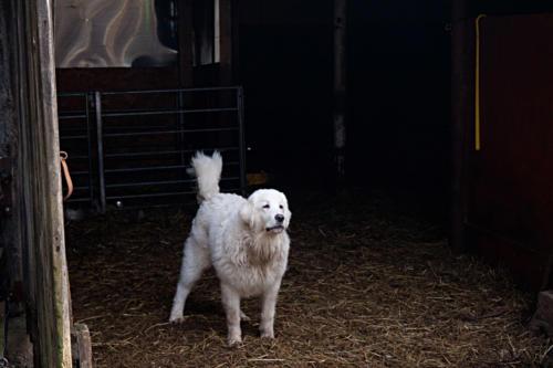 koer1
