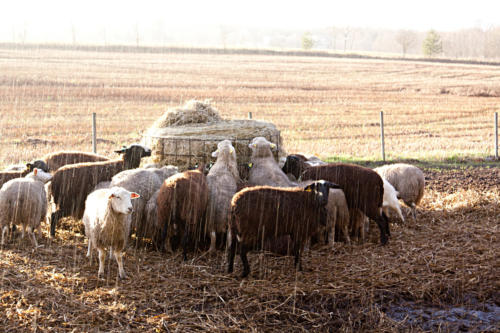 lambad õues